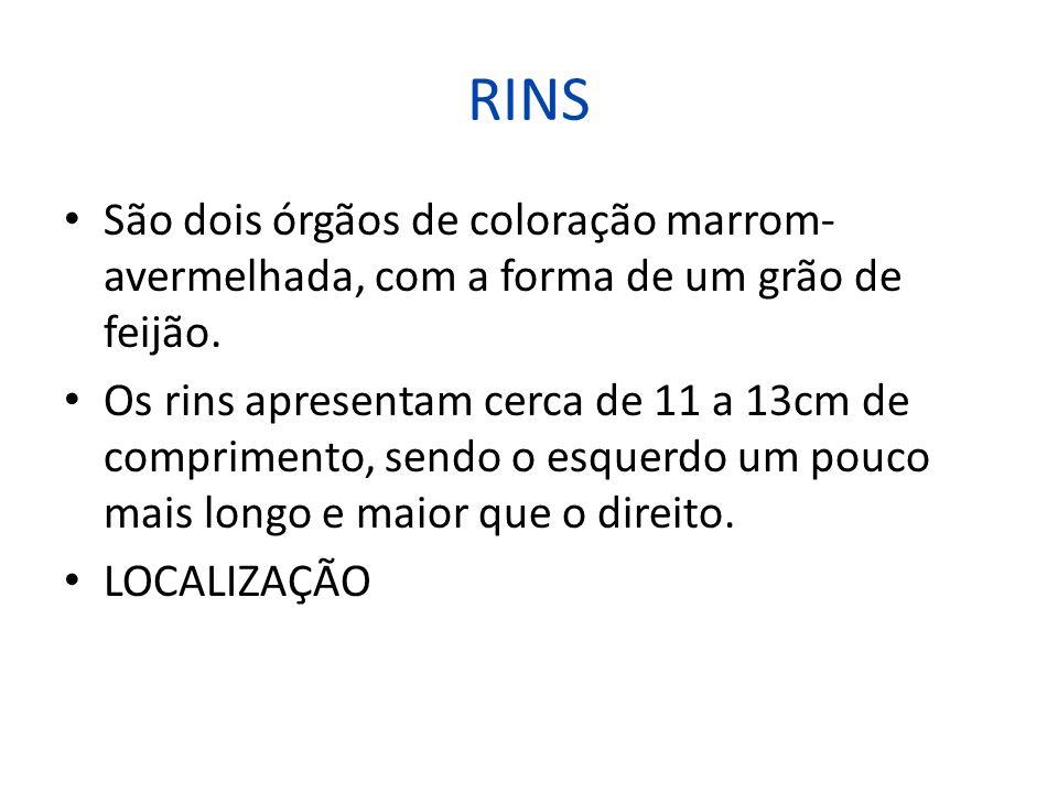 RINS São dois órgãos de coloração marrom- avermelhada, com a forma de um grão de feijão. Os rins apresentam cerca de 11 a 13cm de comprimento, sendo o
