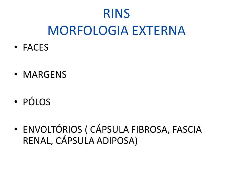 RINS MORFOLOGIA EXTERNA FACES MARGENS PÓLOS ENVOLTÓRIOS ( CÁPSULA FIBROSA, FASCIA RENAL, CÁPSULA ADIPOSA)