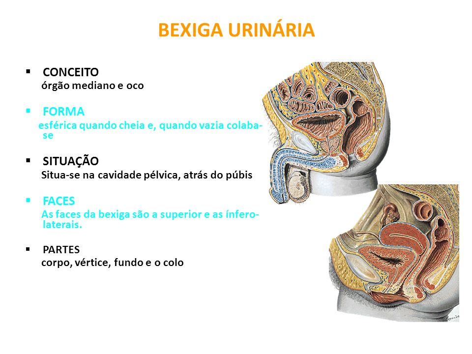BEXIGA URINÁRIA CONCEITO órgão mediano e oco FORMA esférica quando cheia e, quando vazia colaba- se SITUAÇÃO Situa-se na cavidade pélvica, atrás do pú
