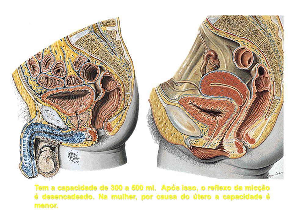 Tem a capacidade de 300 a 500 ml. Após isso, o reflexo da micção é desencadeado. Na mulher, por causa do útero a capacidade é menor.