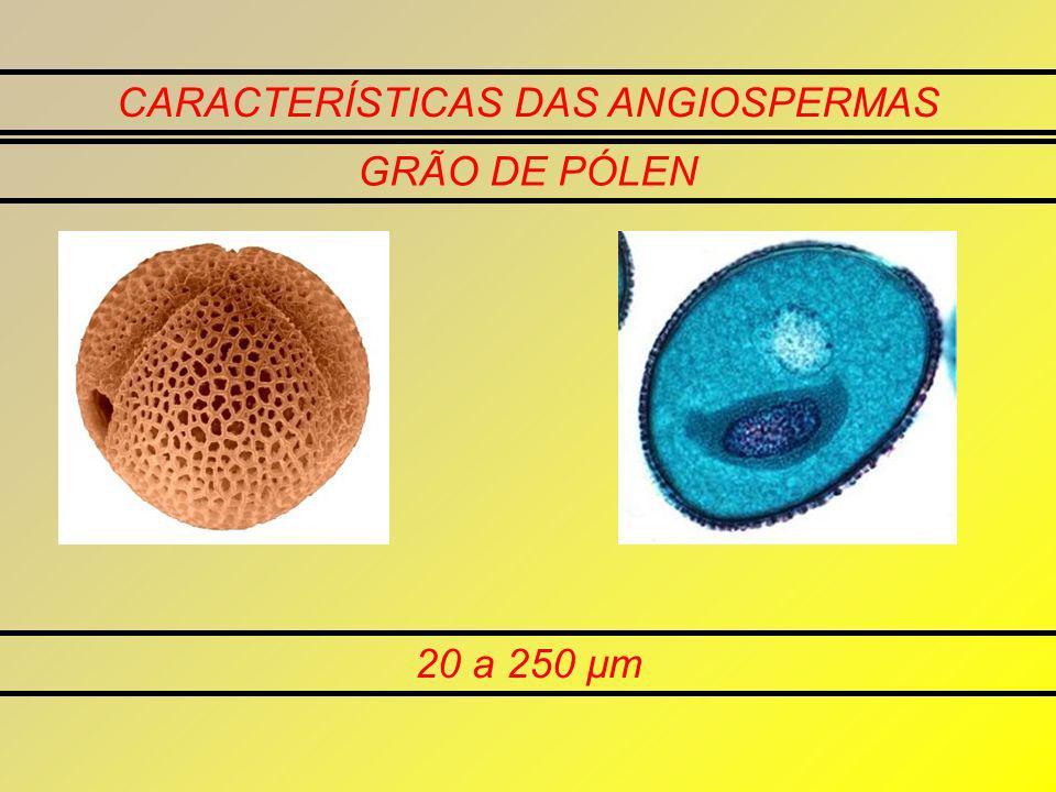 CARACTERÍSTICAS DAS ANGIOSPERMAS GRÃO DE PÓLEN 20 a 250 μm