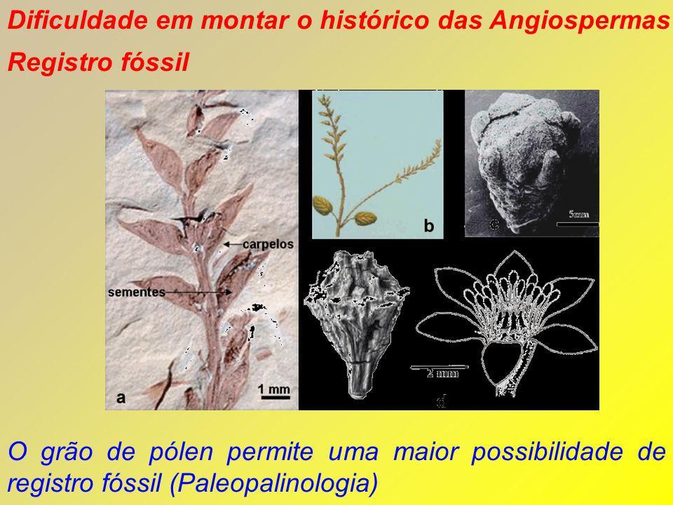 Dificuldade em montar o histórico das Angiospermas Registro fóssil O grão de pólen permite uma maior possibilidade de registro fóssil (Paleopalinologi