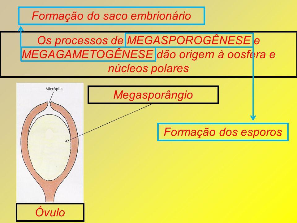 Os processos de MEGASPOROGÊNESE e MEGAGAMETOGÊNESE dão origem à oosfera e núcleos polares Megasporângio Óvulo Formação dos esporos Formação do saco em