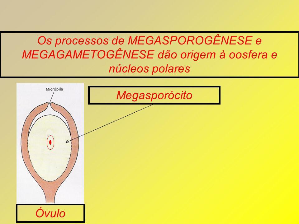 Os processos de MEGASPOROGÊNESE e MEGAGAMETOGÊNESE dão origem à oosfera e núcleos polares Megasporócito Óvulo