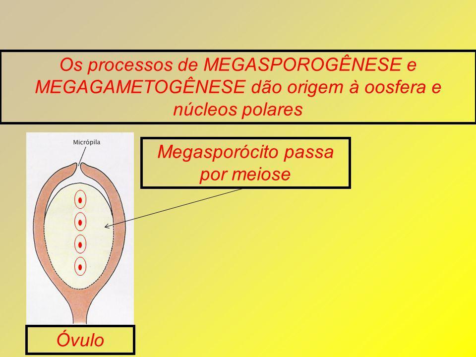 Os processos de MEGASPOROGÊNESE e MEGAGAMETOGÊNESE dão origem à oosfera e núcleos polares Megasporócito passa por meiose Óvulo