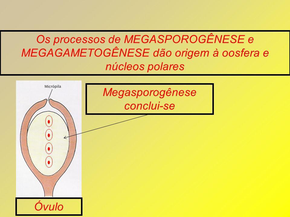 Os processos de MEGASPOROGÊNESE e MEGAGAMETOGÊNESE dão origem à oosfera e núcleos polares Megasporogênese conclui-se Óvulo