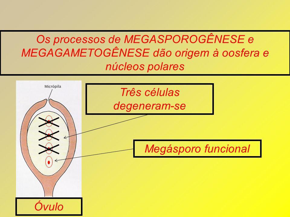 Os processos de MEGASPOROGÊNESE e MEGAGAMETOGÊNESE dão origem à oosfera e núcleos polares Três células degeneram-se Óvulo Megásporo funcional