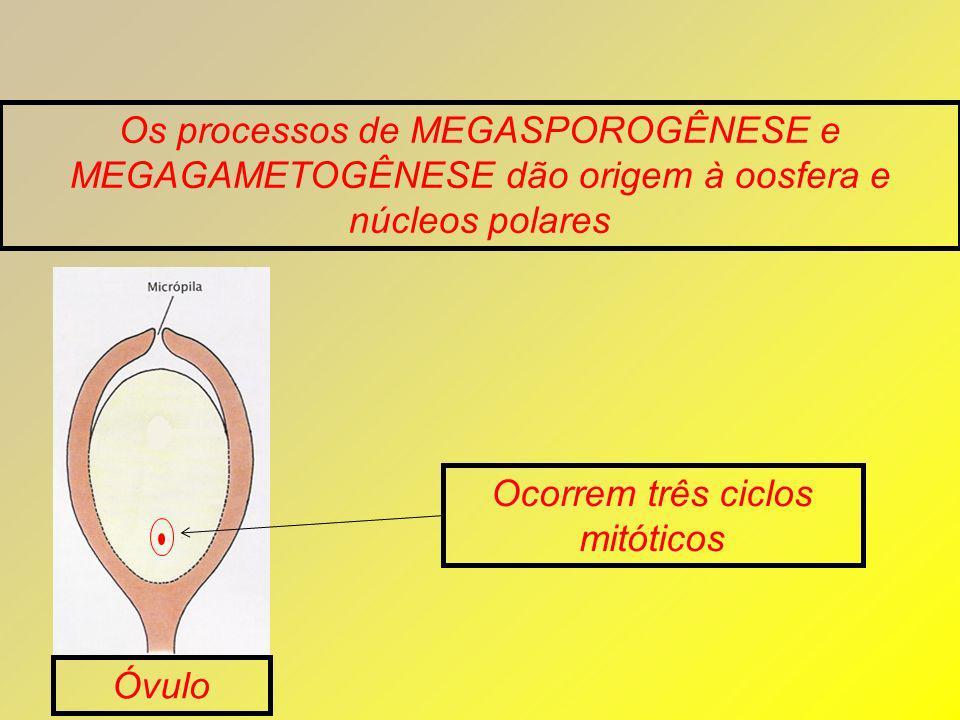 Os processos de MEGASPOROGÊNESE e MEGAGAMETOGÊNESE dão origem à oosfera e núcleos polares Óvulo Ocorrem três ciclos mitóticos