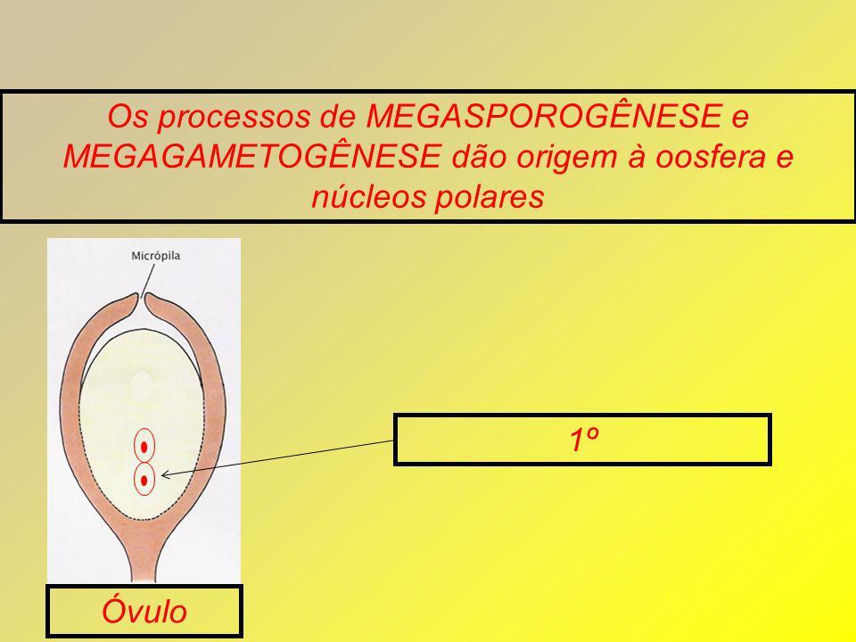 Os processos de MEGASPOROGÊNESE e MEGAGAMETOGÊNESE dão origem à oosfera e núcleos polares Óvulo 1º