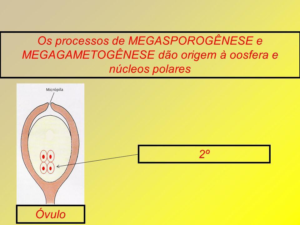 Os processos de MEGASPOROGÊNESE e MEGAGAMETOGÊNESE dão origem à oosfera e núcleos polares Óvulo 2º