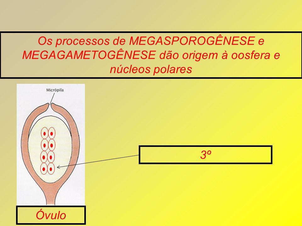 Os processos de MEGASPOROGÊNESE e MEGAGAMETOGÊNESE dão origem à oosfera e núcleos polares Óvulo 3º