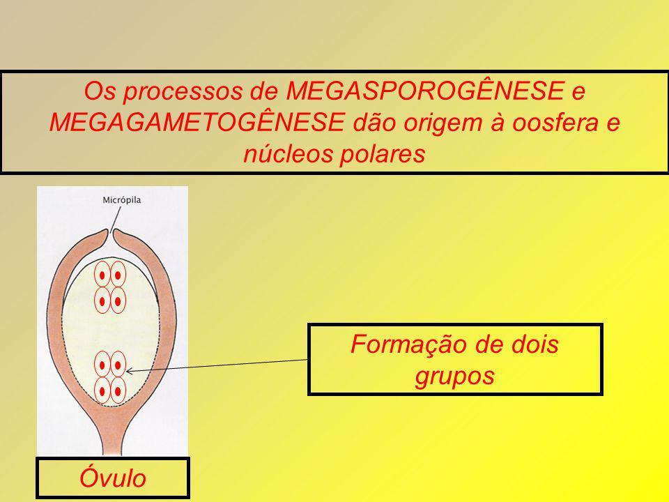 Os processos de MEGASPOROGÊNESE e MEGAGAMETOGÊNESE dão origem à oosfera e núcleos polares Óvulo Formação de dois grupos