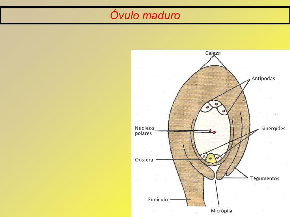 Óvulo maduro