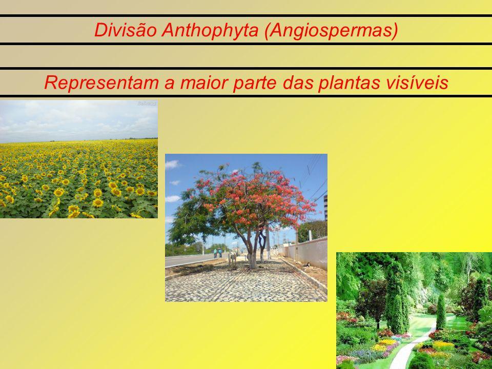 Divisão Anthophyta (Angiospermas) Representam a maior parte das plantas visíveis