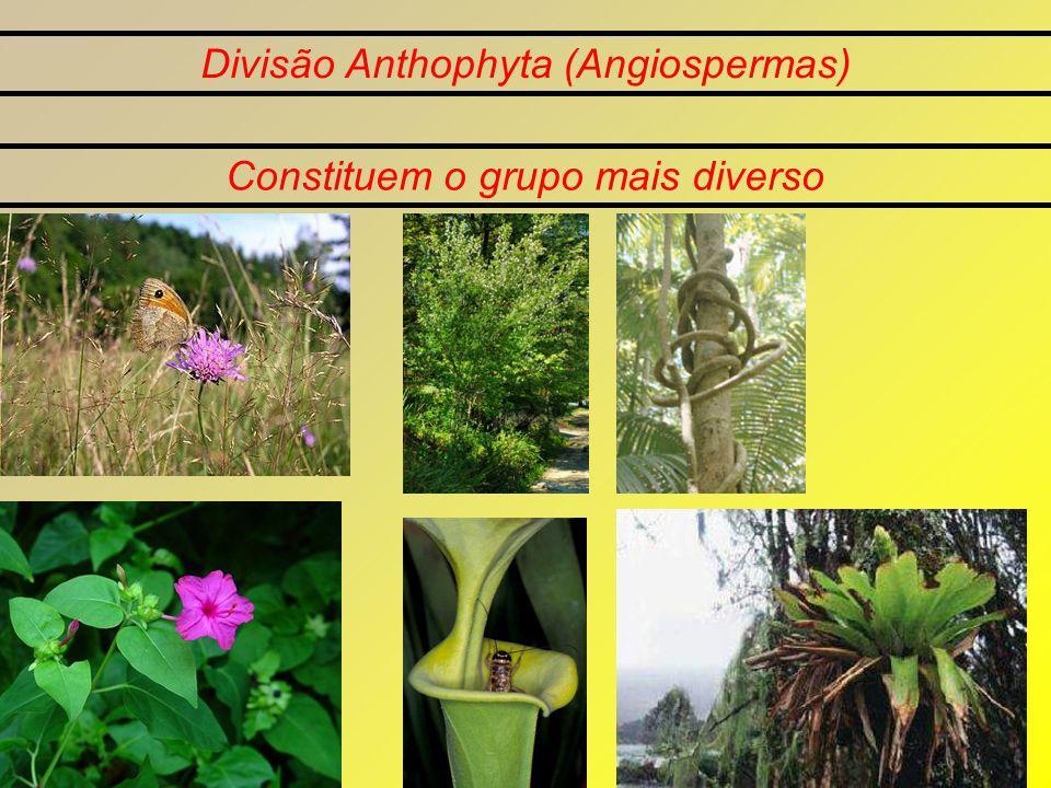 Divisão Anthophyta (Angiospermas) Constituem o grupo mais diverso