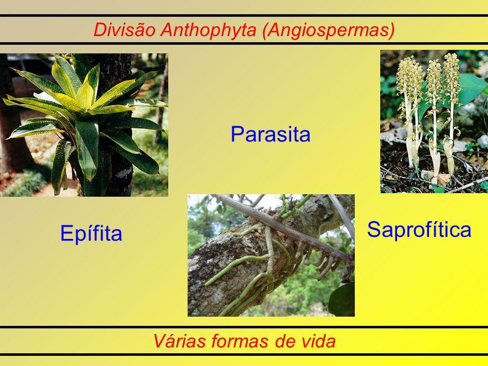 Divisão Anthophyta (Angiospermas) Várias formas de vida Epífita Parasita Saprofítica