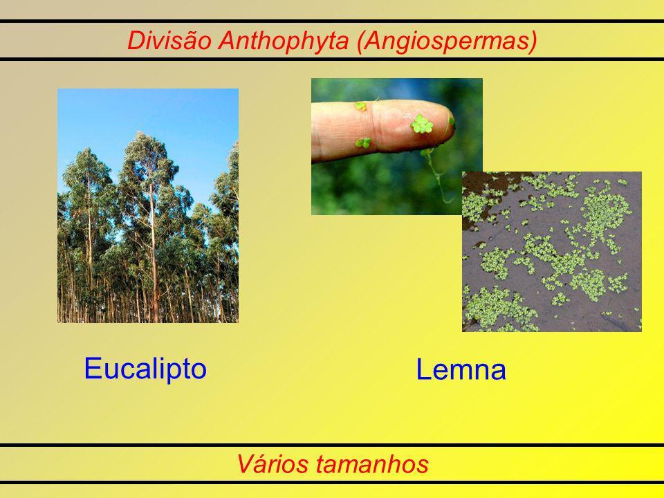 Divisão Anthophyta (Angiospermas) Vários tamanhos Eucalipto Lemna