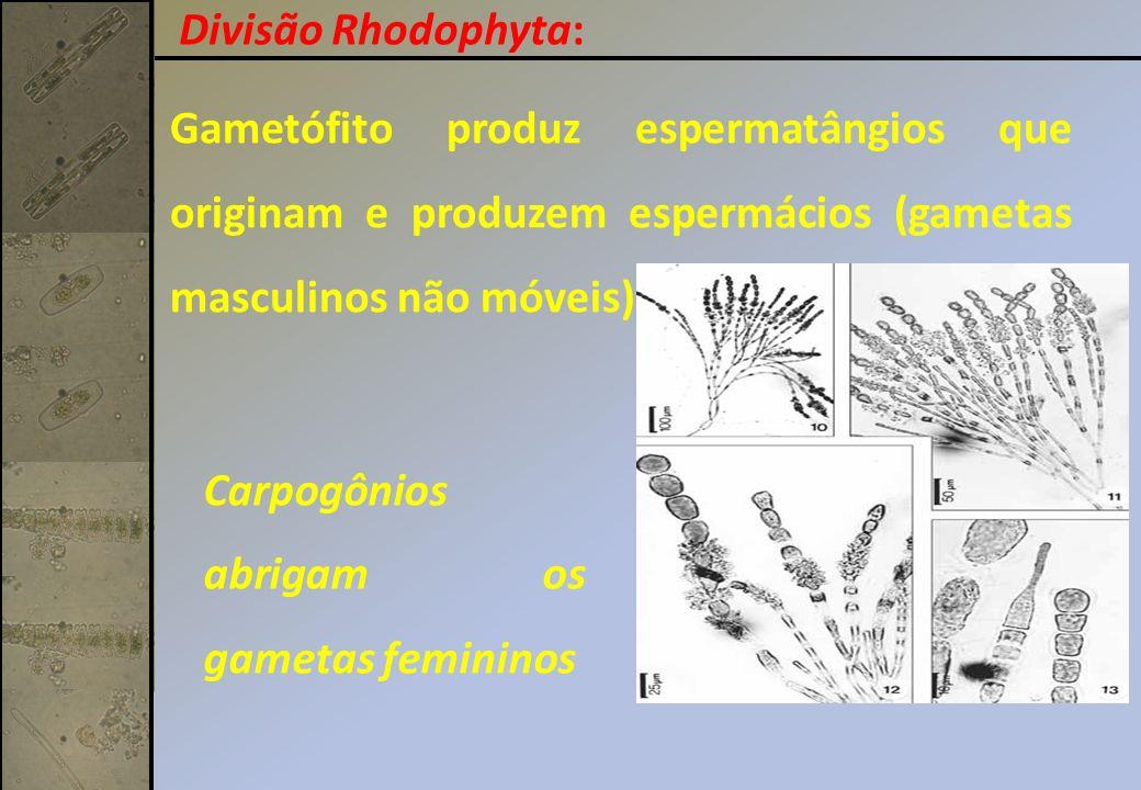 Gametófito produz espermatângios que originam e produzem espermácios (gametas masculinos não móveis). Carpogônios abrigam os gametas femininos Divisão