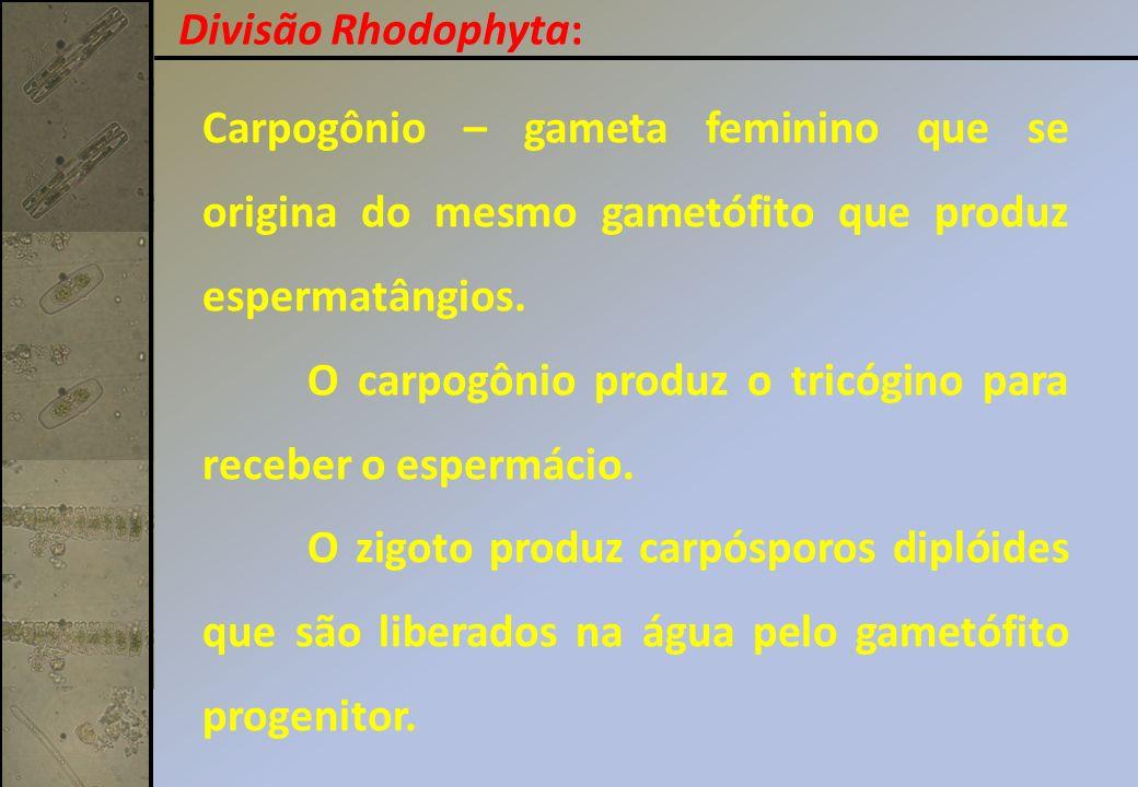 Carpogônio – gameta feminino que se origina do mesmo gametófito que produz espermatângios. O carpogônio produz o tricógino para receber o espermácio.