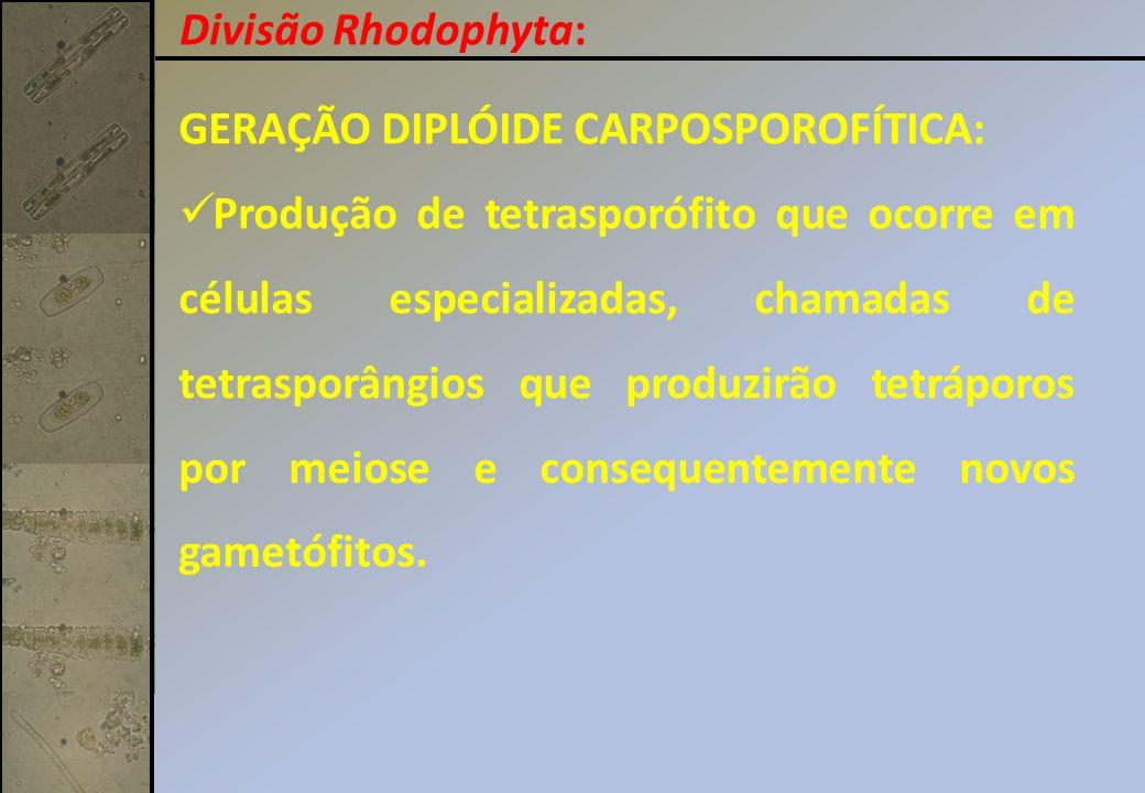 GERAÇÃO DIPLÓIDE CARPOSPOROFÍTICA: Produção de tetrasporófito que ocorre em células especializadas, chamadas de tetrasporângios que produzirão tetrápo