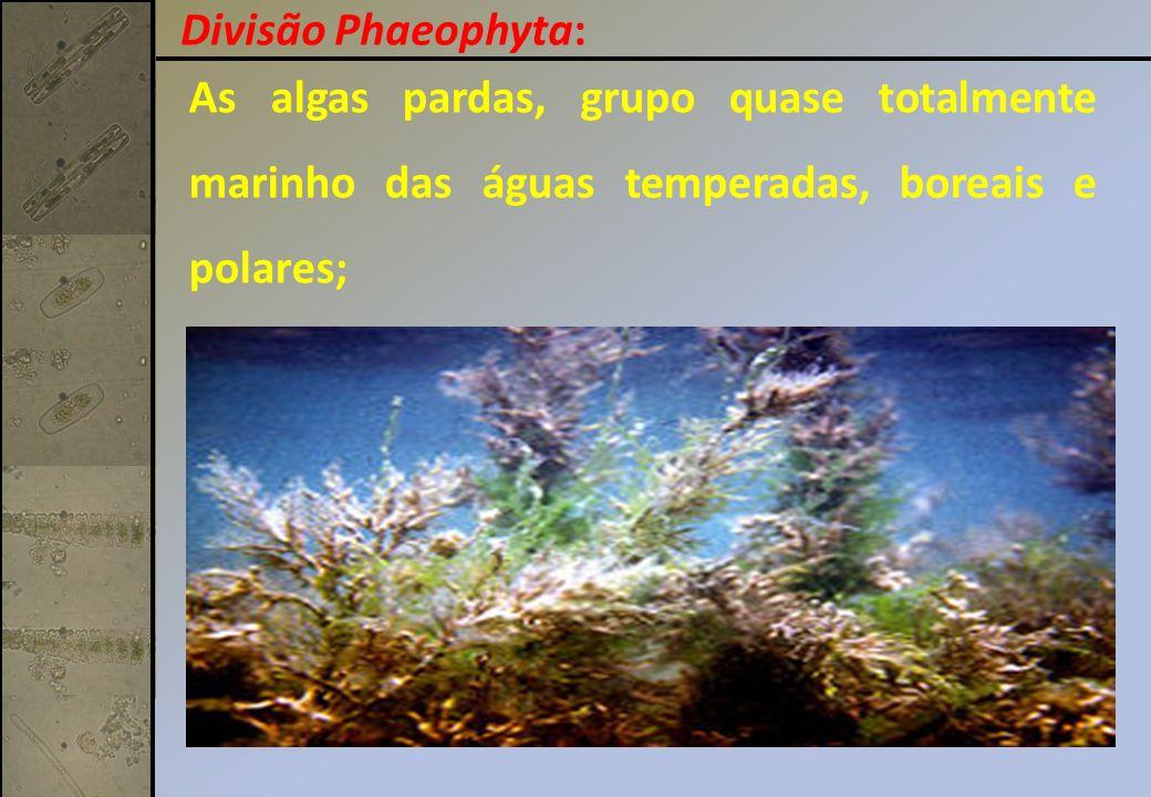 As algas pardas, grupo quase totalmente marinho das águas temperadas, boreais e polares; Divisão Phaeophyta: