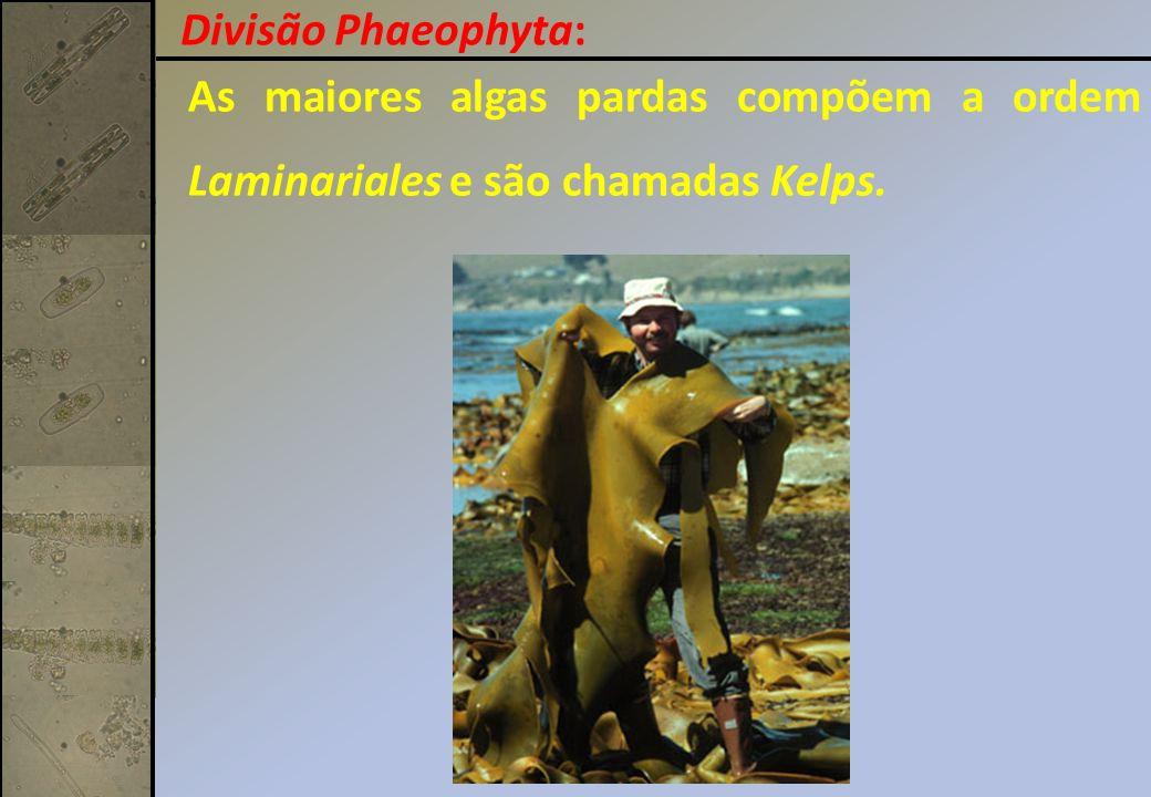 As maiores algas pardas compõem a ordem Laminariales e são chamadas Kelps. Divisão Phaeophyta:
