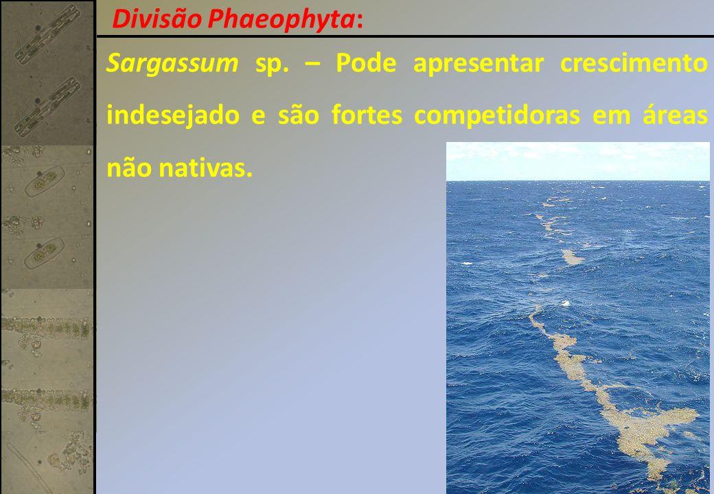 Sargassum sp. – Pode apresentar crescimento indesejado e são fortes competidoras em áreas não nativas. Divisão Phaeophyta: