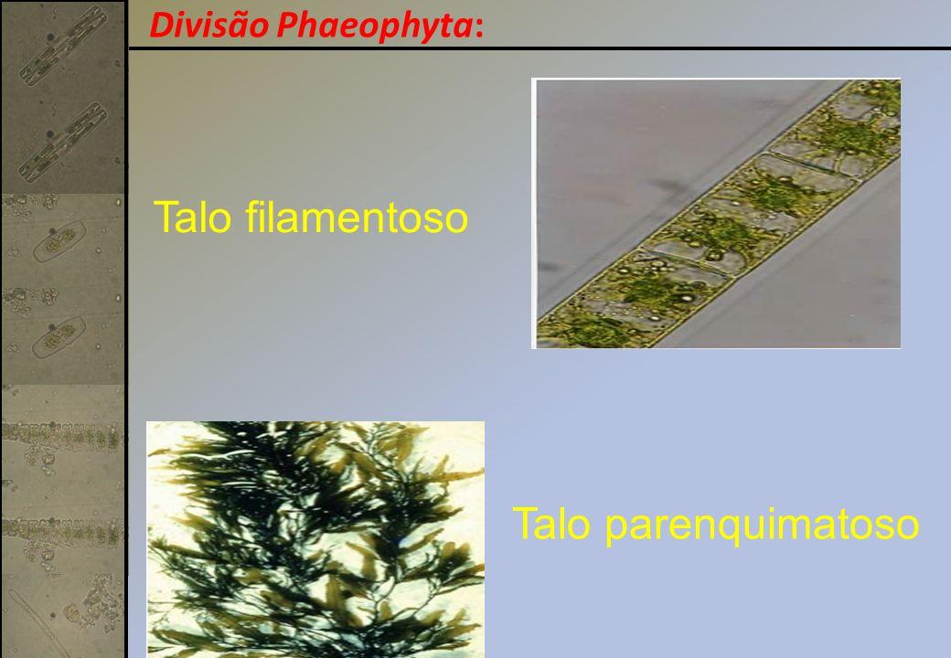 Talo filamentoso Talo parenquimatoso Divisão Phaeophyta: