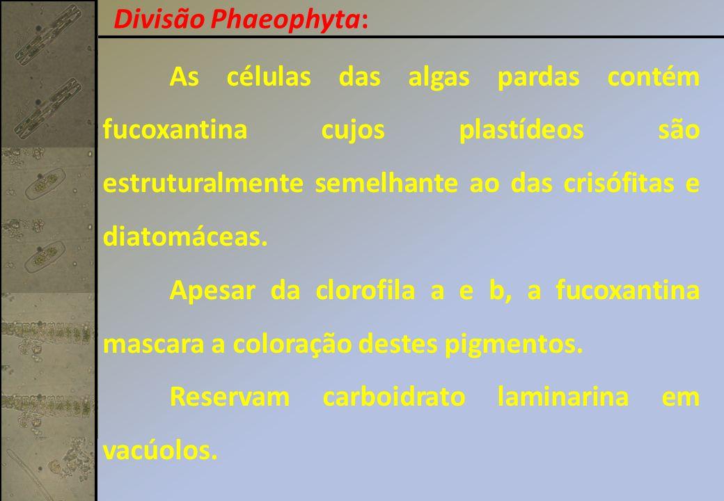 As células das algas pardas contém fucoxantina cujos plastídeos são estruturalmente semelhante ao das crisófitas e diatomáceas. Apesar da clorofila a