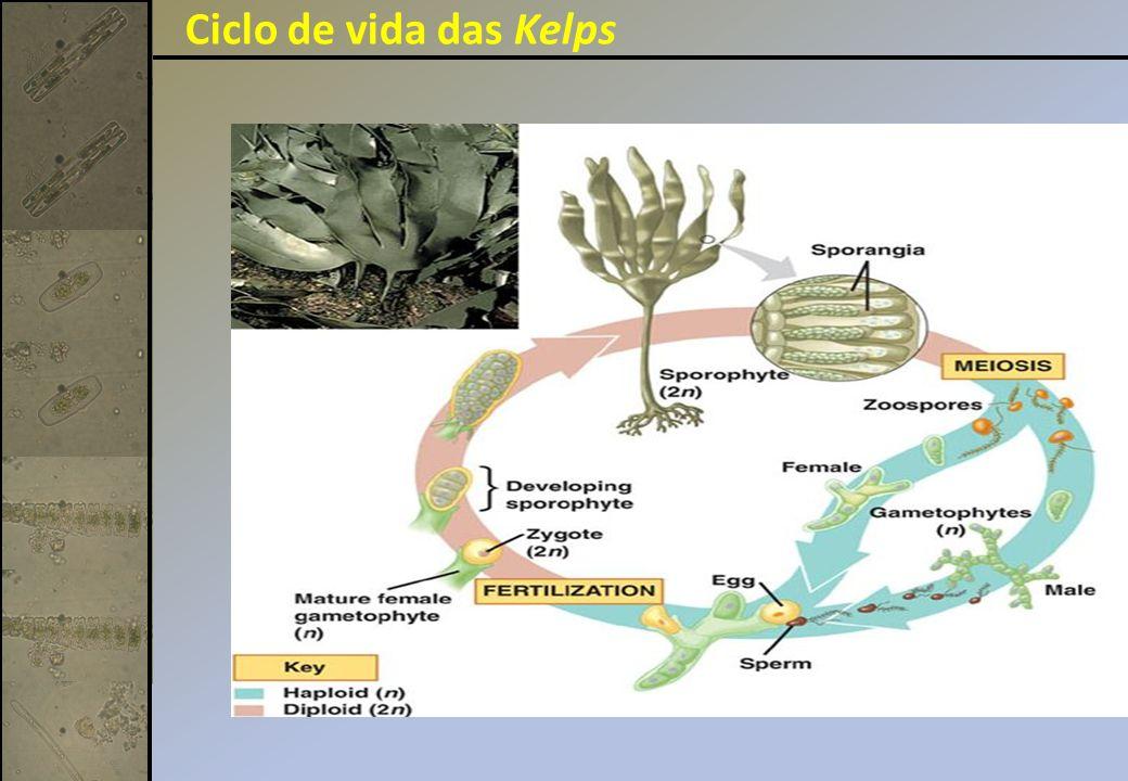 Ciclo de vida das Kelps