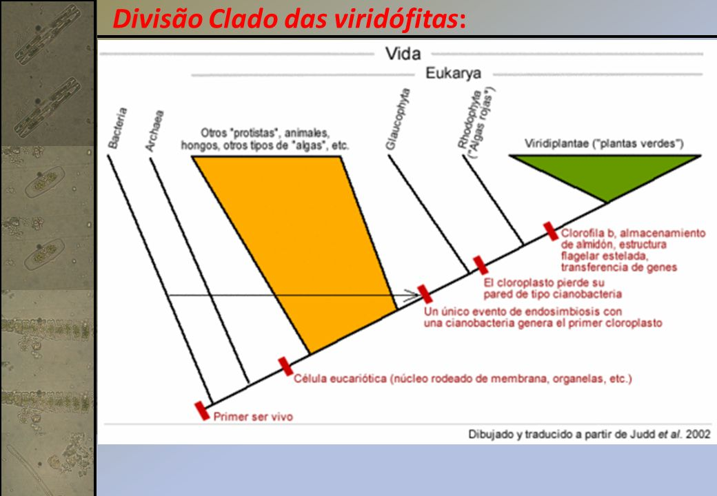 Divisão Clado das viridófitas: