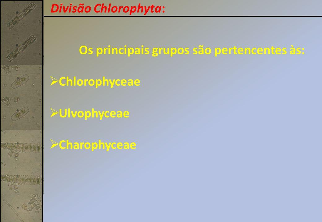 Os principais grupos são pertencentes às: Chlorophyceae Ulvophyceae Charophyceae Divisão Chlorophyta: