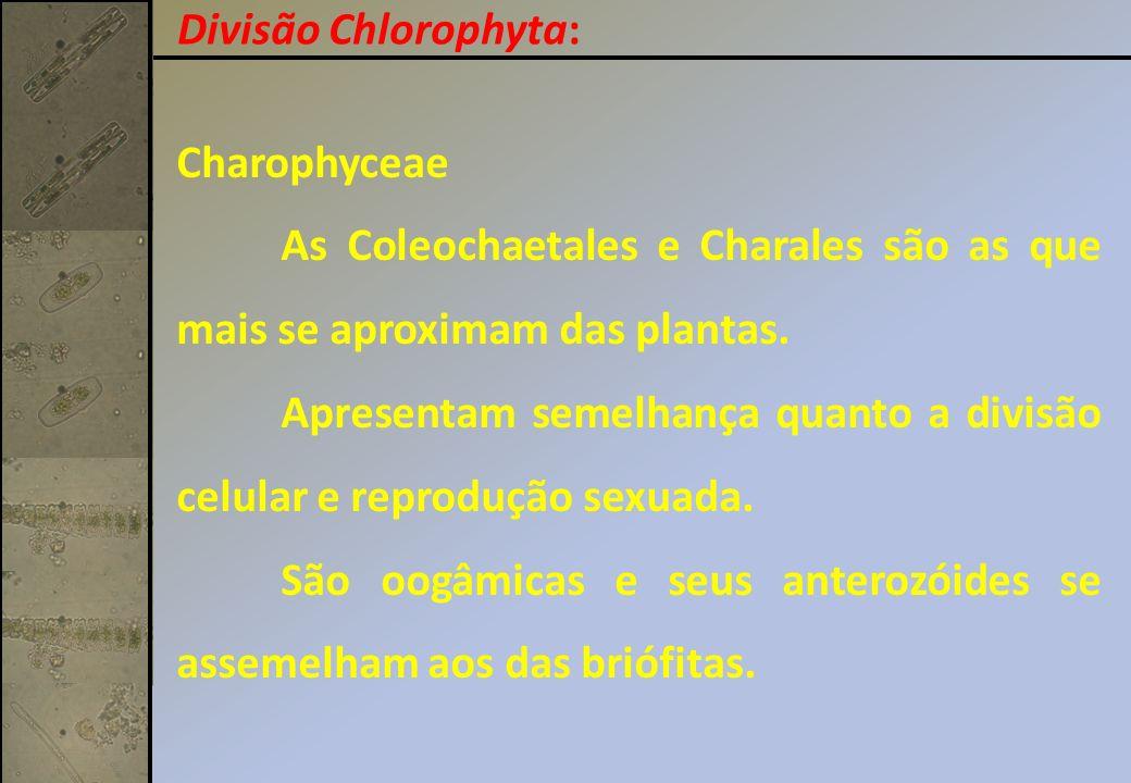 Charophyceae As Coleochaetales e Charales são as que mais se aproximam das plantas. Apresentam semelhança quanto a divisão celular e reprodução sexuad