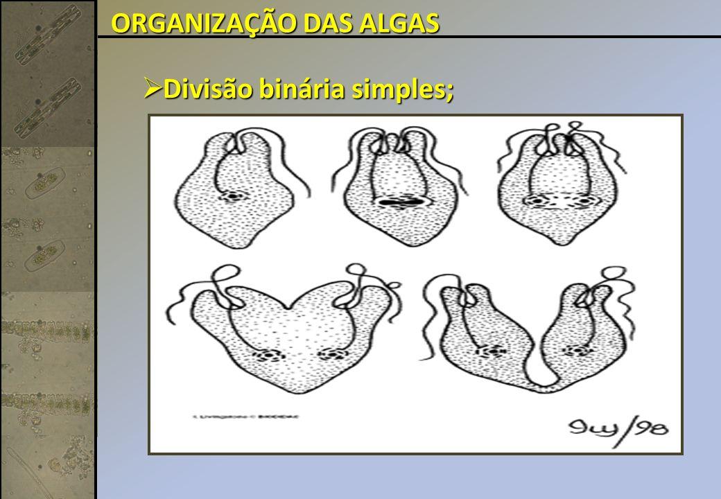 Divisão binária simples; Divisão binária simples; ORGANIZAÇÃO DAS ALGAS