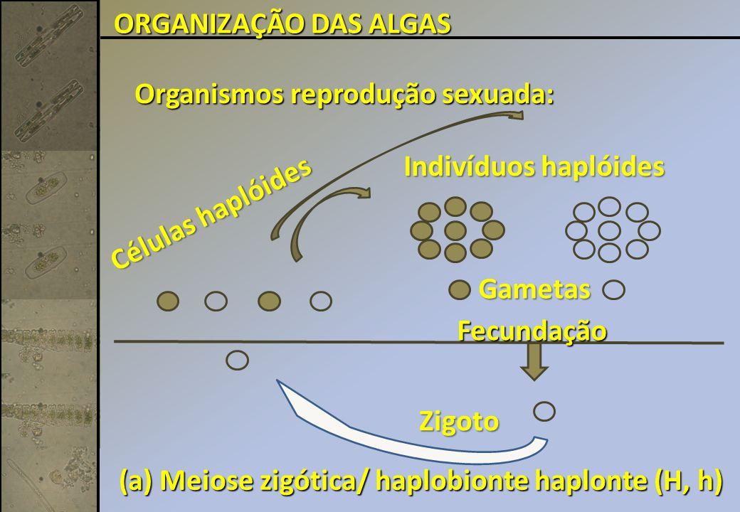 Organismos reprodução sexuada: Fecundação Indivíduos haplóides Zigoto (a) Meiose zigótica/ haplobionte haplonte (H, h) Gametas Células haplóides ORGANIZAÇÃO DAS ALGAS
