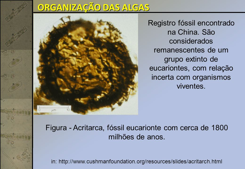 Divisão Bacillariophyta (Diatomáceas): Unicelulares ou coloniais importantes do fitoplâncton; São responsáveis por cerca de 25% da produtividade primária total na Terra.