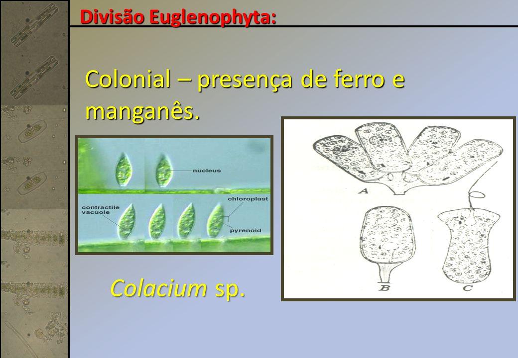 Colacium sp. Colonial – presença de ferro e manganês. Divisão Euglenophyta: