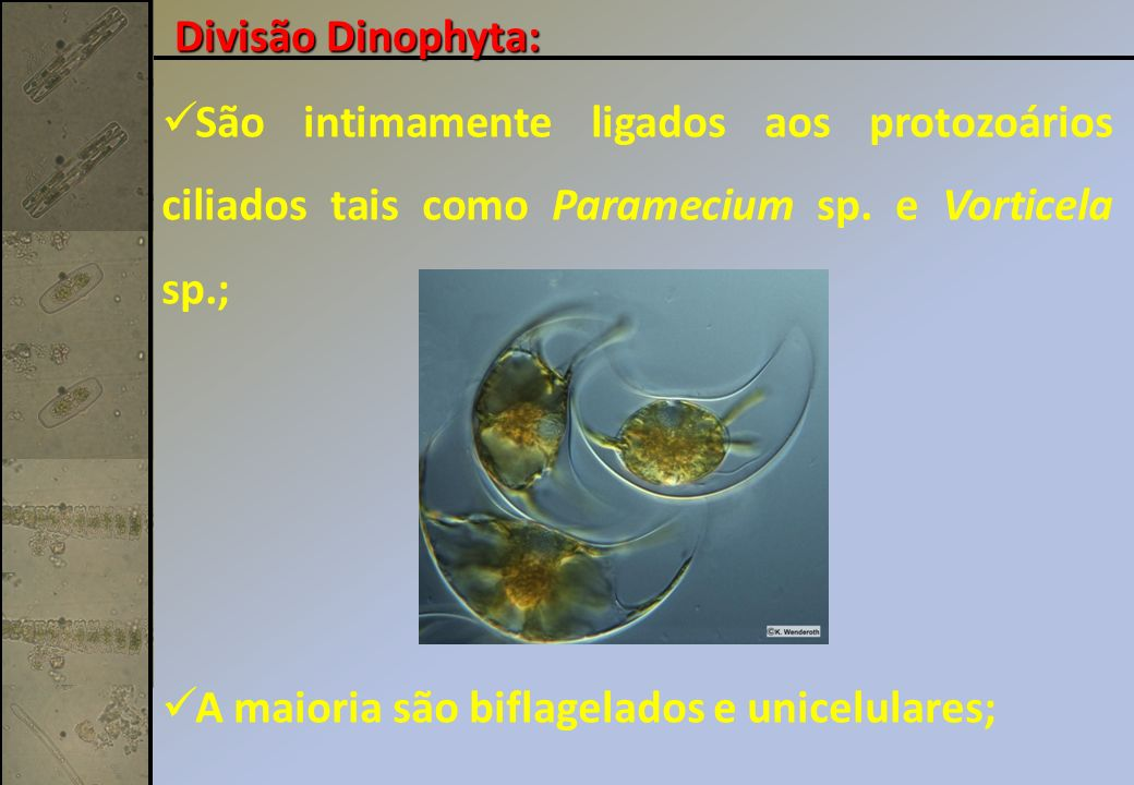 Divisão Dinophyta: São intimamente ligados aos protozoários ciliados tais como Paramecium sp.