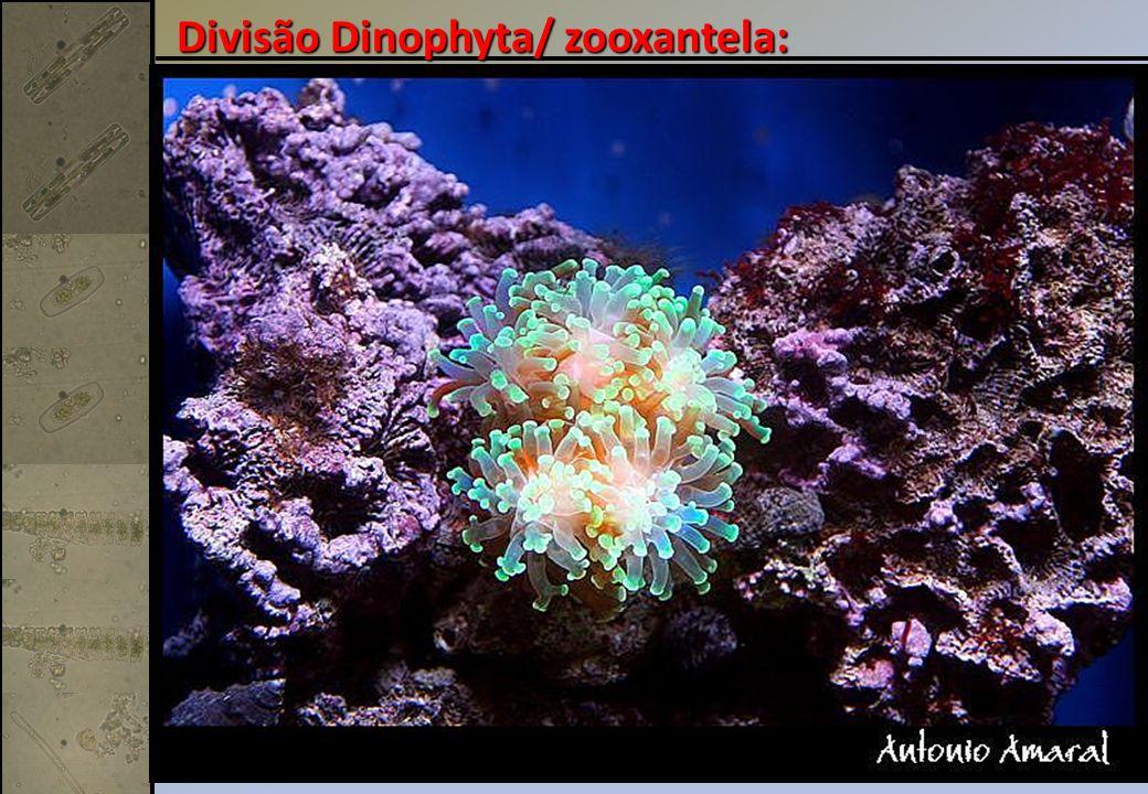 Divisão Dinophyta/ zooxantela: