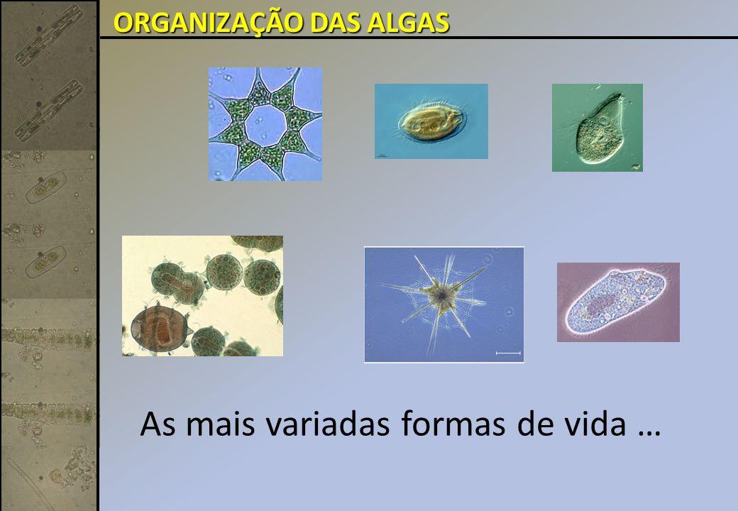 Centrales sp. Divisão Bacillariophyta (Diatomáceas):