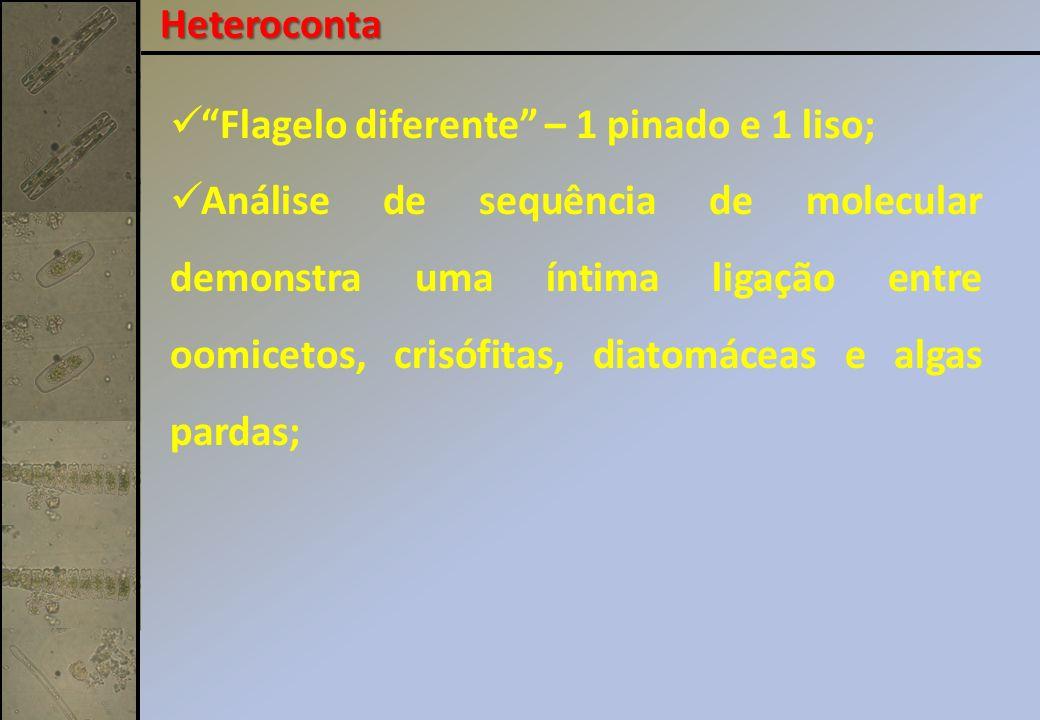 Flagelo diferente – 1 pinado e 1 liso; Análise de sequência de molecular demonstra uma íntima ligação entre oomicetos, crisófitas, diatomáceas e algas pardas; Heteroconta