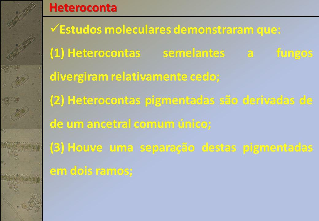 Estudos moleculares demonstraram que: (1) Heterocontas semelantes a fungos divergiram relativamente cedo; (2) Heterocontas pigmentadas são derivadas de de um ancetral comum único; (3) Houve uma separação destas pigmentadas em dois ramos; Heteroconta