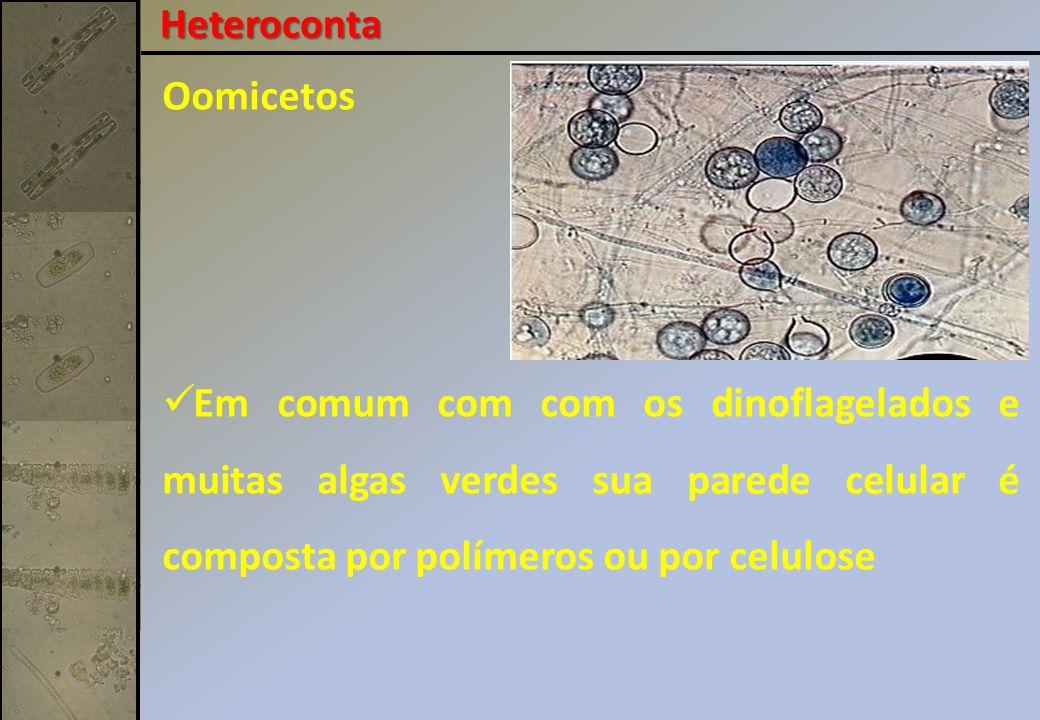 Oomicetos Em comum com com os dinoflagelados e muitas algas verdes sua parede celular é composta por polímeros ou por celulose Heteroconta