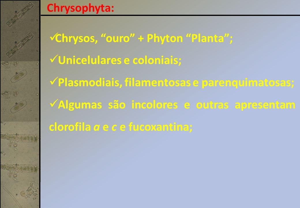 Chrysophyta: Chrysos, ouro + Phyton Planta; Unicelulares e coloniais; Plasmodiais, filamentosas e parenquimatosas; Algumas são incolores e outras apresentam clorofila a e c e fucoxantina;
