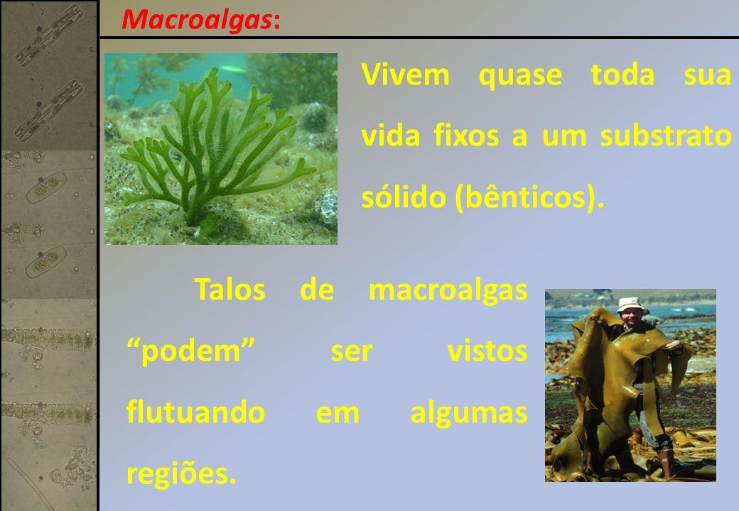 Macroalgas: Talos de macroalgas podem ser vistos flutuando em algumas regiões.