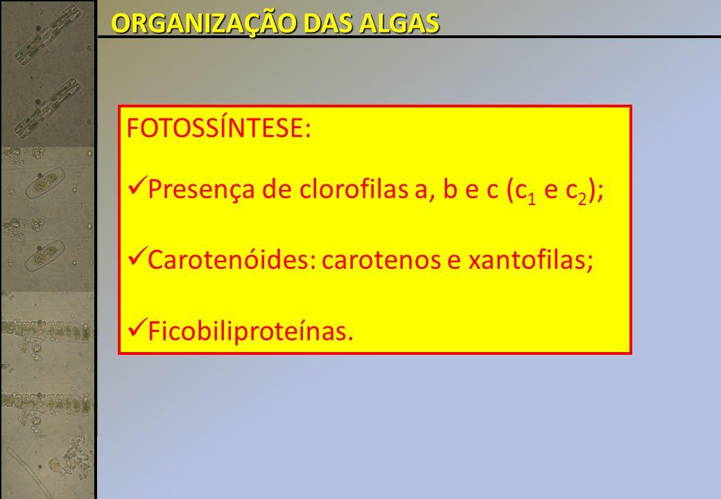 Euglena schmitzii Divisão Euglenophyta: