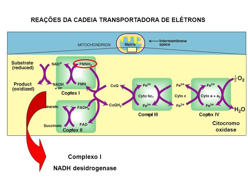 REAÇÕES DA CADEIA TRANSPORTADORA DE ELÉTRONS Complexo I NADH desidrogenase Citocromo oxidase