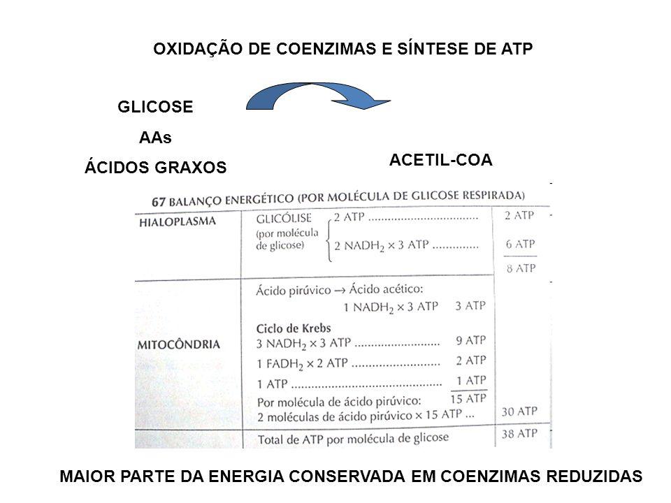 OXIDAÇÃO DE COENZIMAS E SÍNTESE DE ATP GLICOSE AAs ÁCIDOS GRAXOS ACETIL-COA MAIOR PARTE DA ENERGIA CONSERVADA EM COENZIMAS REDUZIDAS