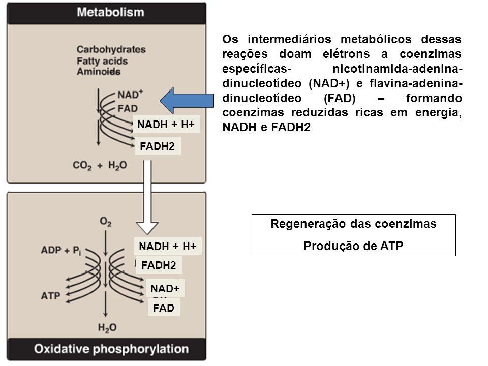 Os intermediários metabólicos dessas reações doam elétrons a coenzimas específicas- nicotinamida-adenina- dinucleotídeo (NAD+) e flavina-adenina- dinucleotídeo (FAD) – formando coenzimas reduzidas ricas em energia, NADH e FADH2 FADH2 NADH + H+ FADH2 NADH + H+ FAD NAD+ Regeneração das coenzimas Produção de ATP