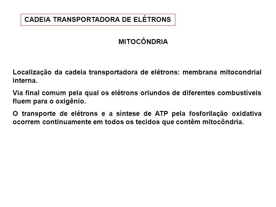 MITOCÔNDRIA Localização da cadeia transportadora de elétrons: membrana mitocondrial interna. Via final comum pela qual os elétrons oriundos de diferen